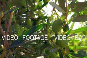 Green olive twig in Mediterranean garden