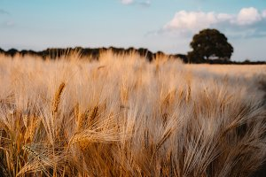 Ripe wheat field. Blue sky with some white clouds and one big oak tree in background