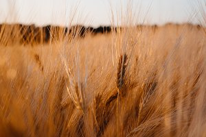 Golden colored wheat field in sunset evening warm light