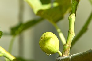 green fruit fig on tree have sweet droplet