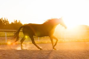 Purebred horse running in the padlock in the sunset.
