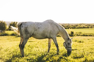 Purebred white horse eating grass on a field.