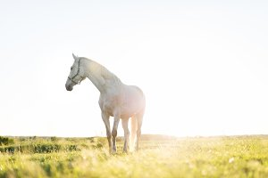 Lonely white horse standing on the grass field in the sunset.
