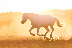 White horse running on the sand in the sunset.
