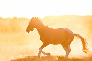 Dark purebred horse gallopading on the sand