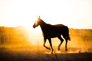 Black horse running in the paddock in the sunset.