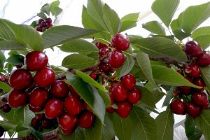 Red cherries on branch