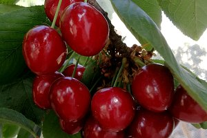 Red ripe cherries on branch