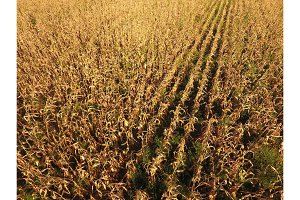 Field with ripe corn. Dry stalks of corn. View of the cornfield from above. Corn plantation, mature cobs, ready to harvest.