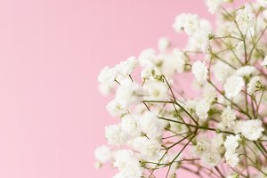 White gypsophila flowers