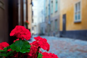 Geranium flower in the narrow street