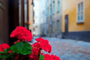 Geranium flower in the narrow street