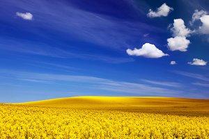 Spring field full of colza / rape