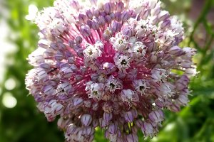 Leek blossom at green garden
