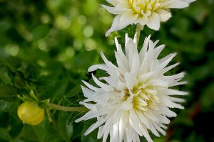 White dahlias at green garden