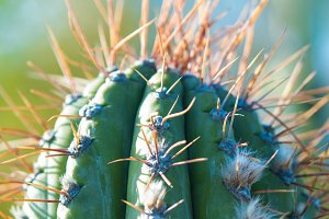 The top of the cactus, long spines.