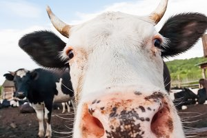 Cow pokes its nose into the camera