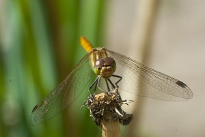 Dragonfly ready to take off