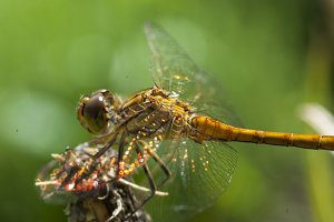 Dragonfly in detail