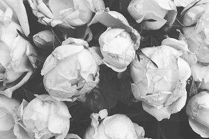 Black and White Roses on the Vine