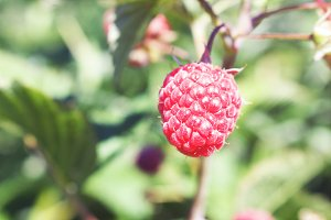 Single Raspberry on the Vine