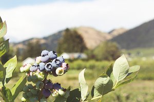 Growing Blueberries I