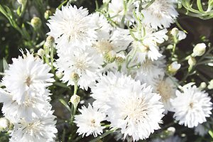 White Fluffy Flowers on the Farm