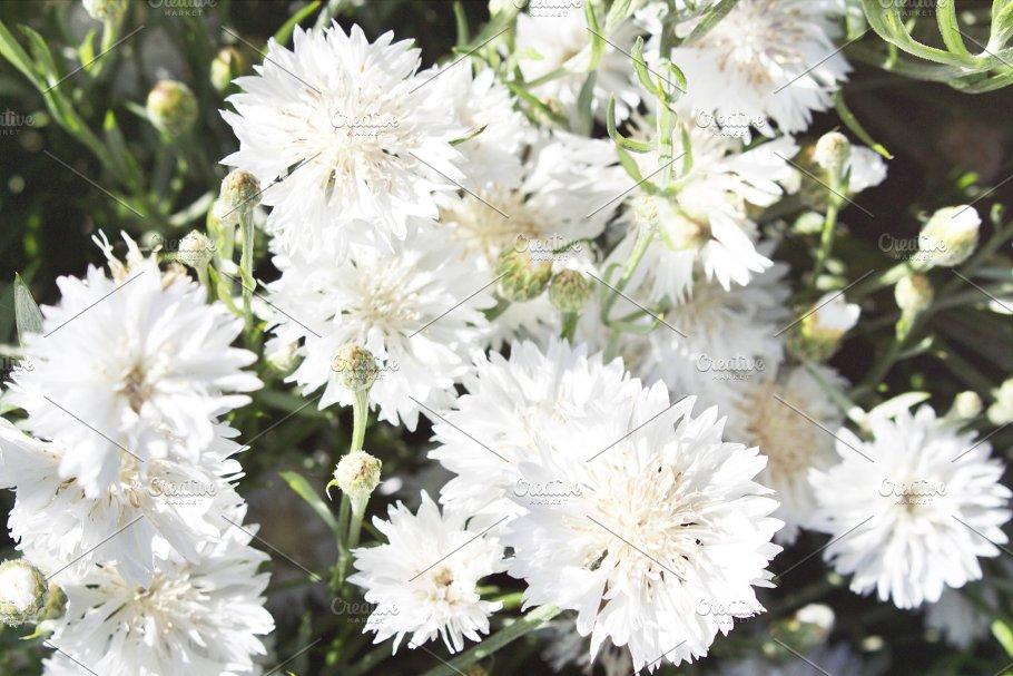 White Fluffy Flowers on the Farm - Nature Photos | Creative Market Pro