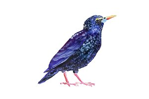 Watercolor thrush
