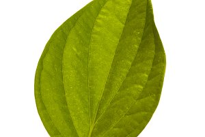 betel leaf tropical leaves on white