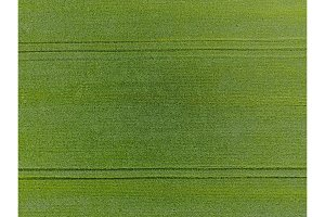 The wheat field is green. Young wheat on the field. View from above. Textural background of green wheat. Green grass.