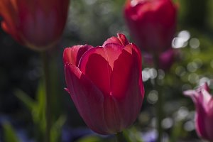 Red tulip composition