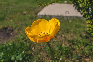 Yellow tulip 1
