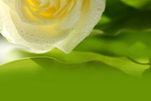 green background with rose