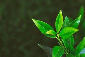 Young leaf. Defocused green backdrop