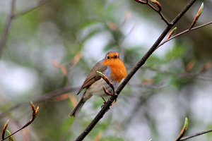 Bird Robin Redbreast