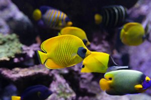 yellow tropical fishes meet in blue coral reef sea water aquarium