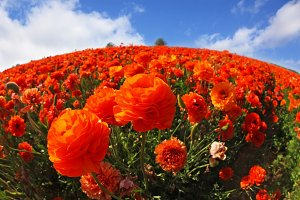 Red-orange buttercups