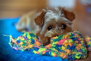 Puppy with colored piece of cloth