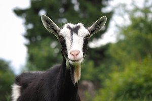 The goat in the field. A portrait of the animal