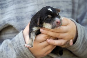 Newborn puppy in the hands of a child