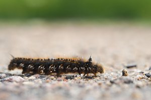 Big hairy caterpillar crawling on the road