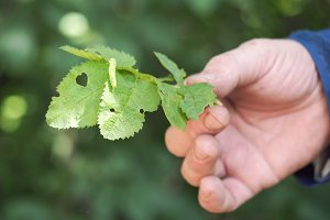 A man's hand shows a plant affected by a pest caterpillar