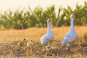 family of geese on the edge of a vineyard at sunset