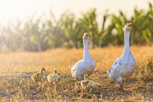 family of geese on the edge of a farm at sunset