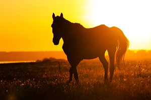 Silhouette of a horse in the field at sunset