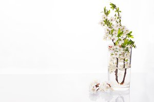 beautiful cherry blossom in vase isolated on white