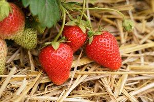 Strawberry red straw fruit