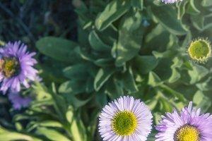 Tiny Lavender Daisies (Photo)