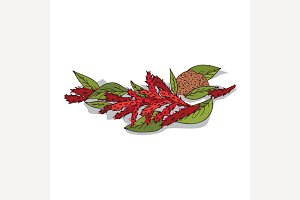 Isolated clipart Amaranth
